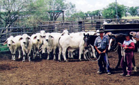 Rodger Jefferis and Daughter Brooke with a group of young Sale bulls.
