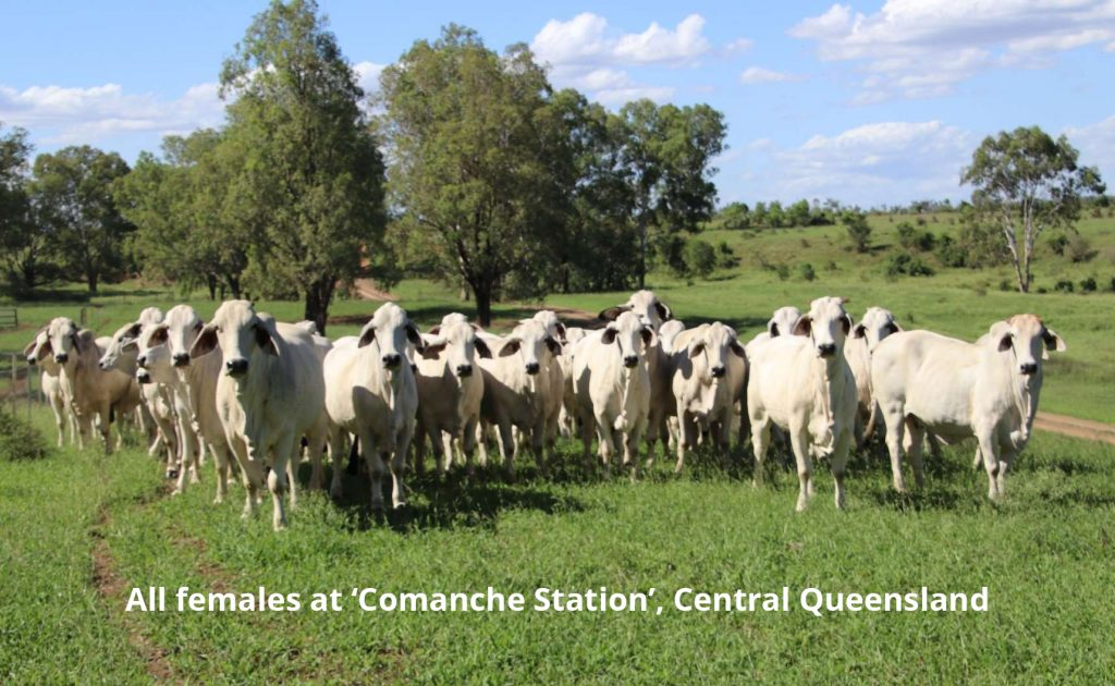 793 Registered Grey Brahamn Females for sale