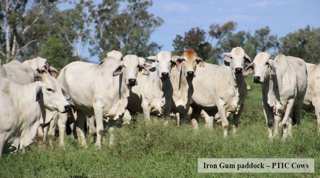 122 Registered Grey Brahman Cows PTIC