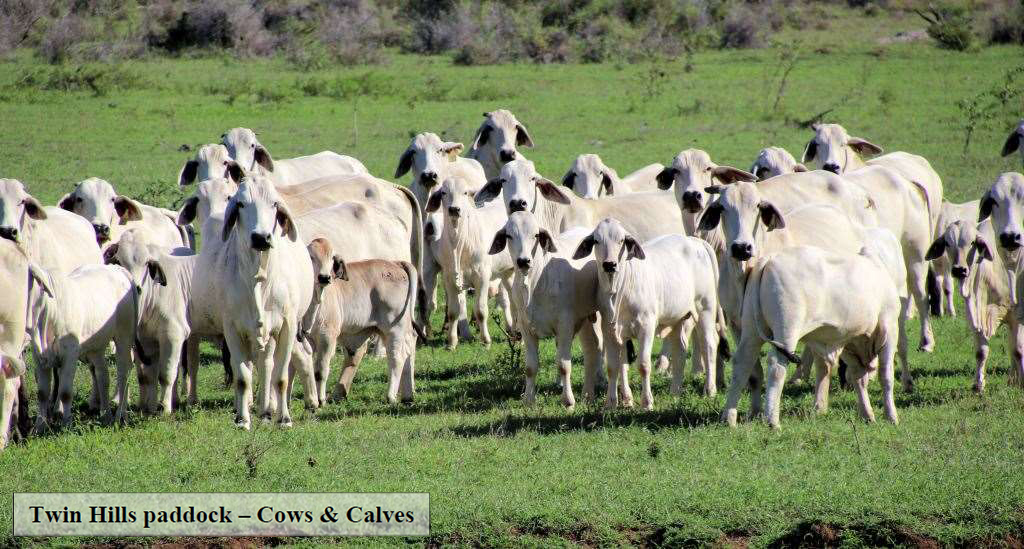 77 Registered Gray Brahman Cows with Claves