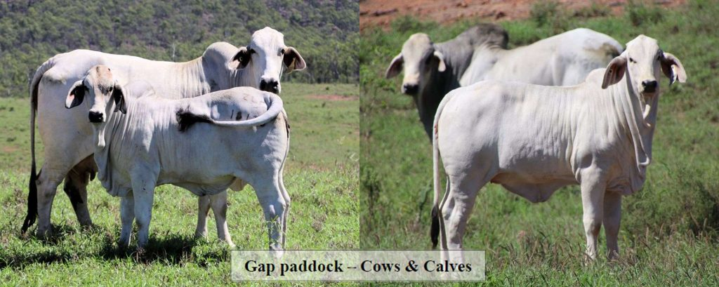 244 Registered Grey Brahman Cows with Calves